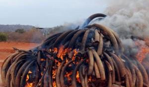 saisie ivoire d'éléphants
